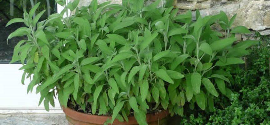 come coltivare la salvia sul balcone