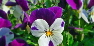 piante da coltivare in giardino la viola del pensiero