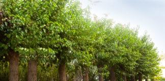 alberi da balcone sempreverdi 2