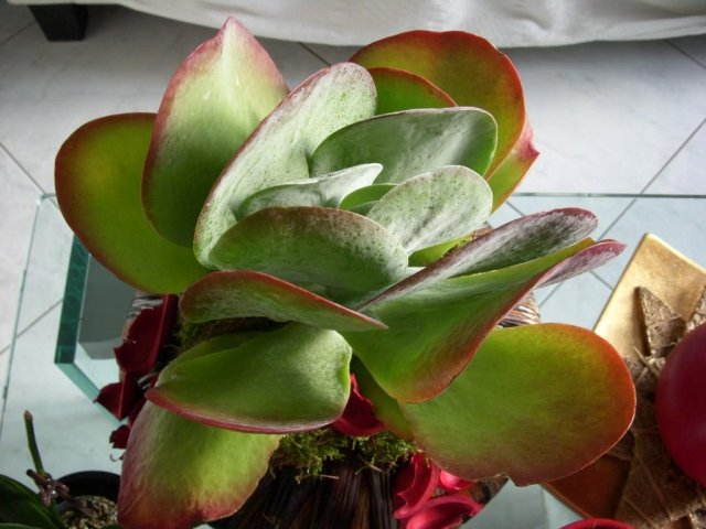 Rosa del deserto, oleandro del madagascar