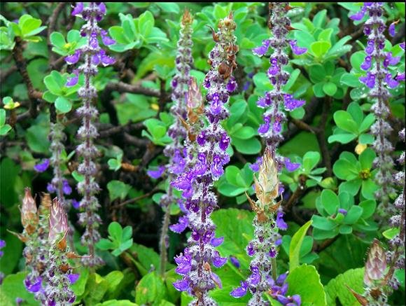 piante repellenti coleus canina