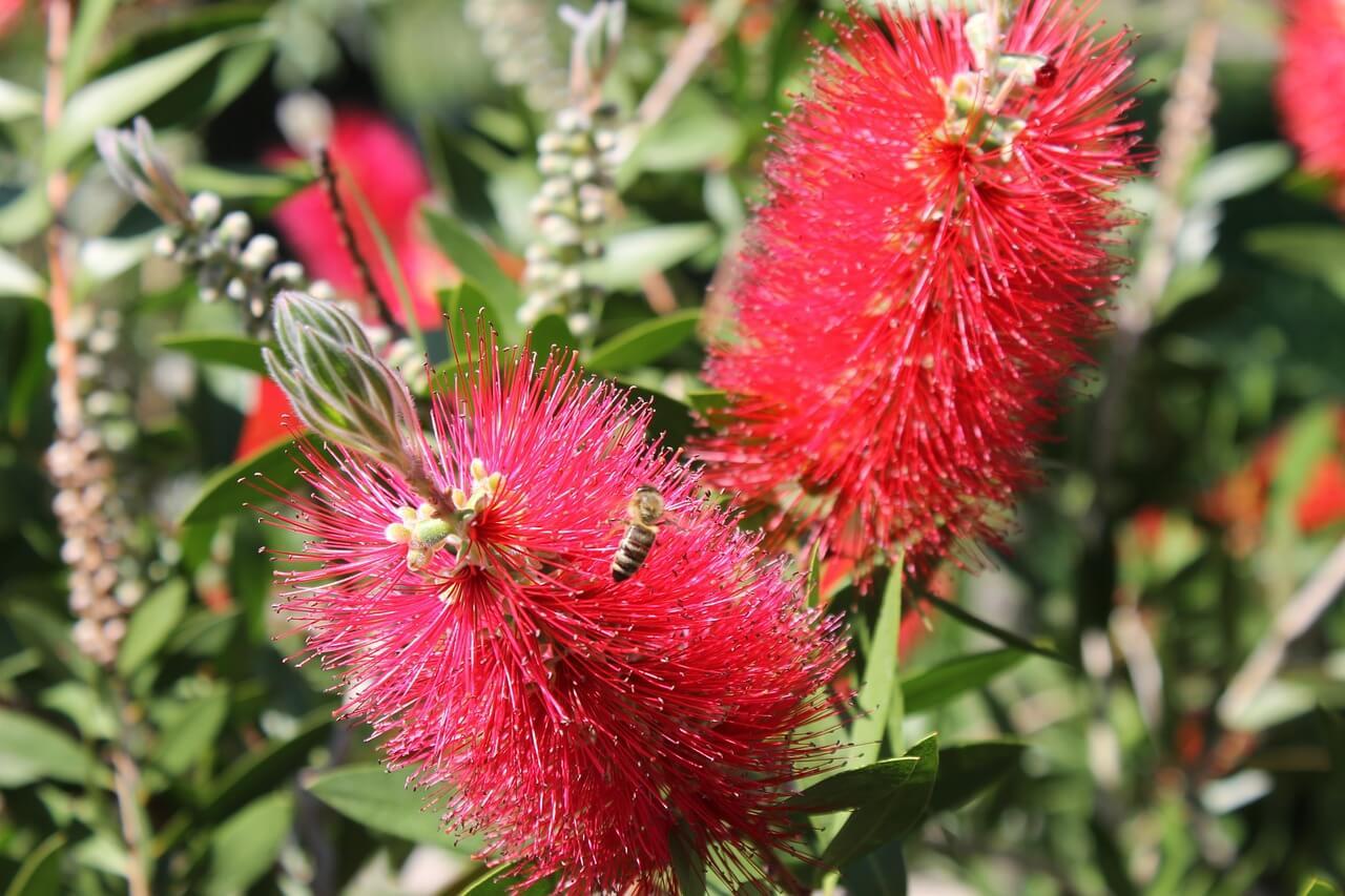 colore al giardino con albizia