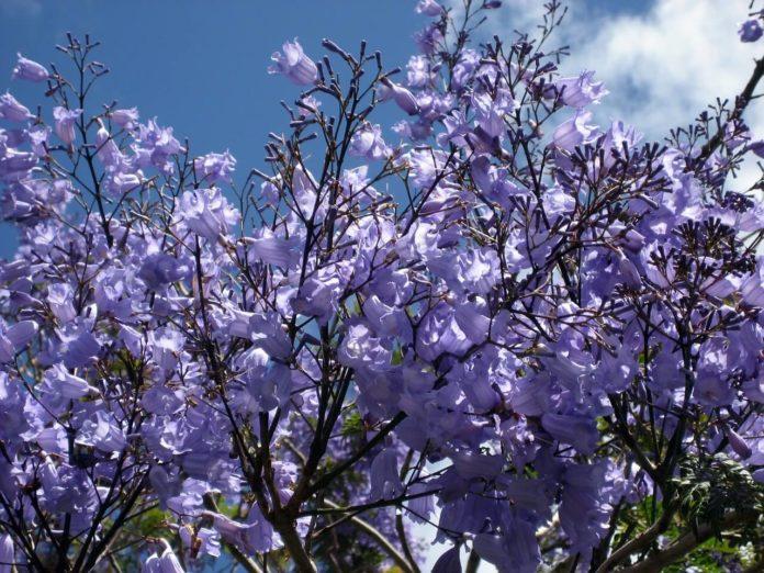 colore al giardino jacaranda